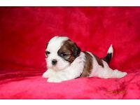 Amazing Pedigree Shih Tzu Puppies