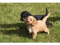 Cavapoo FB1 puppies