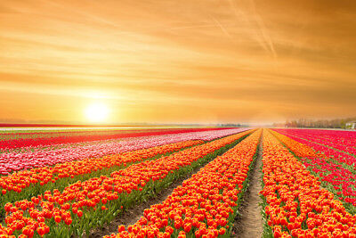 Rows of Tulips Springtime in the Netherlands Photo Art Print Poster (The Netherlands Tulips)