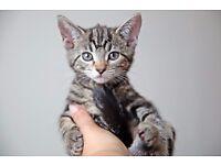 Very beautiful tabby kitten (boy) for sale