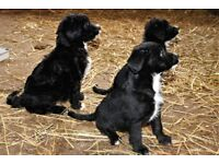 beautiful Collie doodle pups