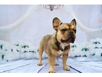 French Bulldog Girl sable