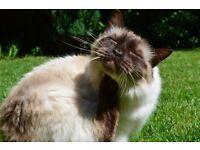Missing Cat - Colehill, Wimborne