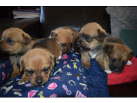 Jack russell/ Cairn Puppies for sale
