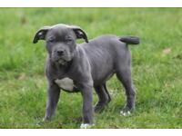 American Xl Bully Puppy available Female pick of litter