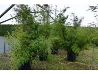 Large Black Bamboo Phyllostachys nigra