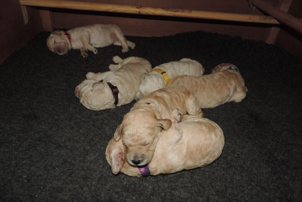 Pedigree Standard Poodle Puppies for Sale   in Magherafelt, County  Londonderry   Gumtree