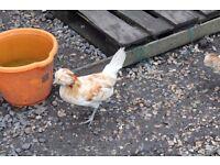 Pure Polish Chickens - Bantam size