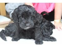 Cockapoo puppies forsale