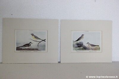 COPPIA STAMPE D'EPOCA CON UCCELLI RUPICOLA VINTAGE ROCK PIPIT + WAGTAIL PRINTS