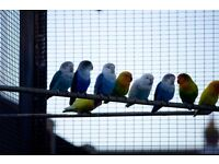 2016 Fisher's Lovebirds for sale