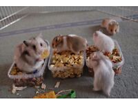 Beautiful baby hamsters for sale
