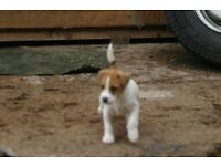 PARSON RUSSELL PUP FOR SALE