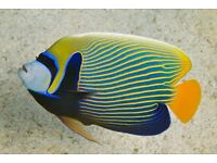 Emperor Angelfish adult 6-7 inch size ONLY £75 !!!