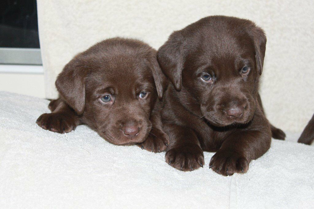 Chocolate Labrador Puppies In East End Glasgow Gumtree