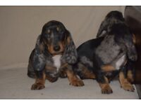 ADORABLE DACHSET / BASSHUND PUPPIES