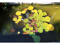 Large Pond Lily With Pot