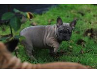 Kc registered French Bulldog Pappies puppy