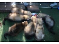 FULL AND SEMI ANGORAS FERRETS FOR SALE