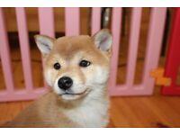 IKC reg Last Girl Japanese Shiba Inu puppie