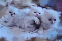 Dolly face persian kittens for sale