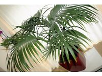 Palm Chamaedorea Elegant Large Indoor Plant (50inches/125cm) in Dark-red Pot