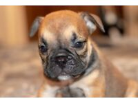 REDUCED!! Kc Reg Triple Carrier Female English Bulldog Puppy