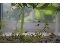 Guppies 50p each – 11 guppies left at the moment