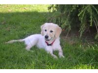 12 weeks old full K.C REG. Golden retr female puppy looking for a forever home!! 950