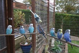 Selection of 2016 bred budgies for sale