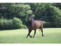 Stunning 16hh Mare, event / dressage prospect , 7yrs old