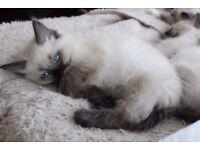 Lovely Ragdoll Kittens