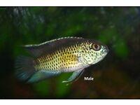 Golden Eyed dwarf Cichlids