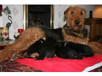 Airedale Terrier - 3 gorgeous black and tan bitch puppies for sale!