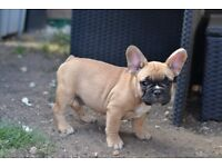 Pedigree French Bulldogs puppies
