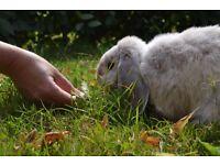 Fluffy Dwarf Lop-Eared Rabbit for sale