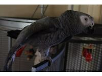 2yr Old Male African Grey