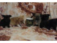 Beautiful Pom Chi Puppies