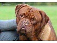Quality dogue de bordeaux pups pup puppy dog