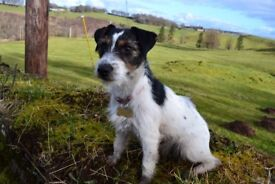 JACK RUSSELL FOR ADOPTION - female, 6 years