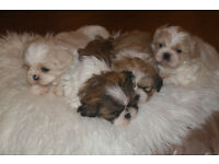Shih tzu puppies for sale ready sat 13th may!!!!!!