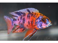 "Malawi OB Peacock Cichlids | Orange Blotched Cichlid | Adults 3-4"""