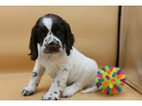 English Springer Spaniel Pups KC Reg, Home Reared, Ready in 2 Weeks