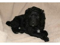 Cockapoo F2 puppy boy looking for a Forever Home