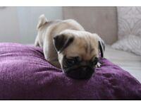 Beautiful Miniature Chunky Kc Reg Pug Girls!