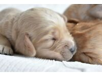 STUNNING COCKAPOO PUPPIES FOR SALE