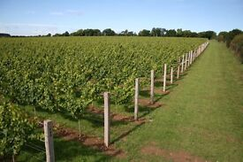 """Vineyard pruning assistant required to help pulling out prunings and painting """"wounds"""" after pruning"""