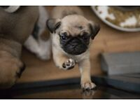 Pug Puppies for Sale Very tiny and Compact (Black Carrying Tan)