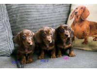 Lovely family of miniature dachshunds. KC registered