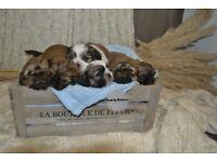 shih tzu puppies pure breed